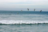 Pelicans flying along the wave